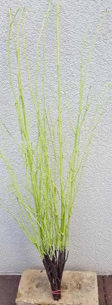 Trockenblumen - Birke - Grün