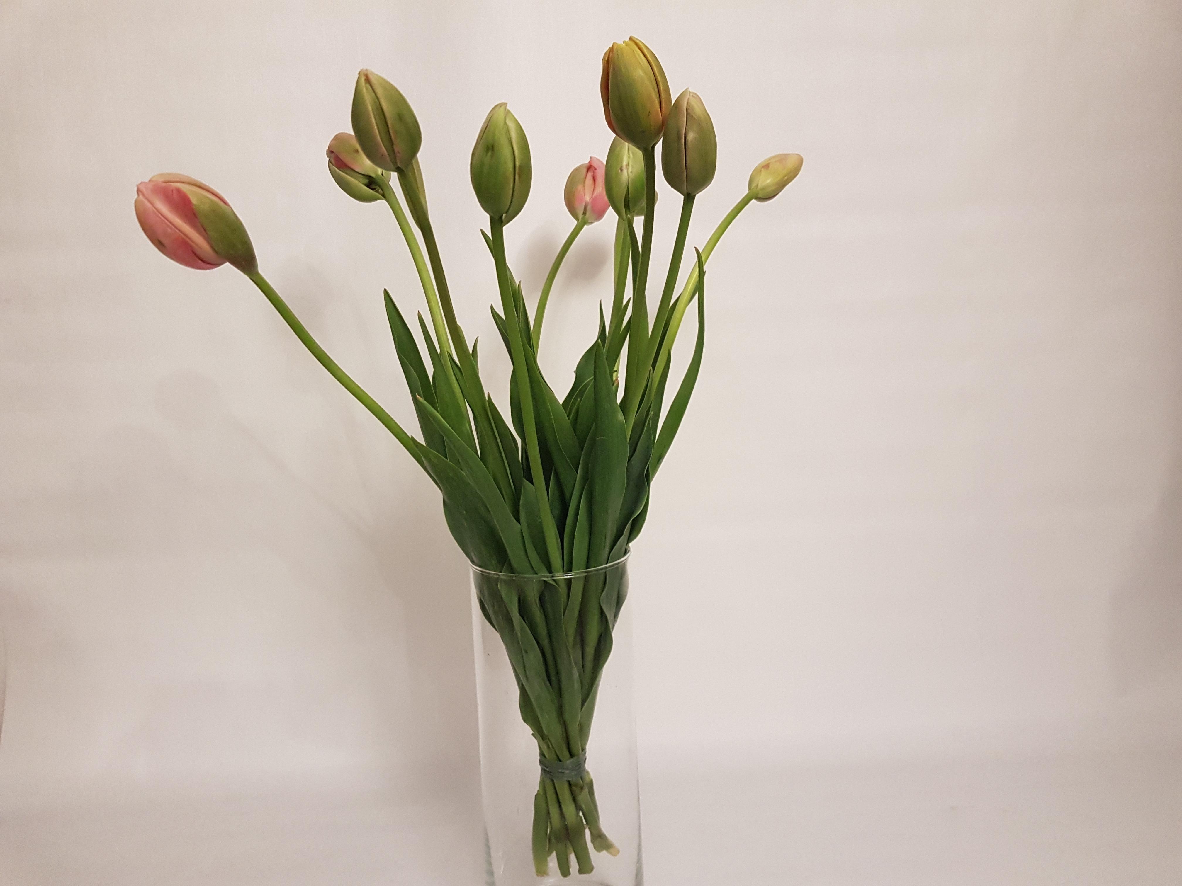 Französische Tulpen Sind Blumen Den Man Beim Wachsen Zuschauen Kann